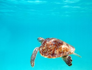 USA_florida_key_west_turtle