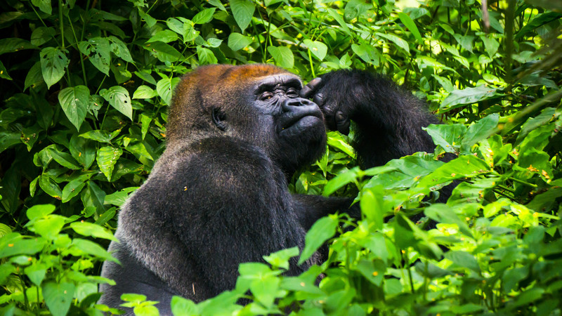 Intrepid Travel-Congo-lowland-gorillas-580723687