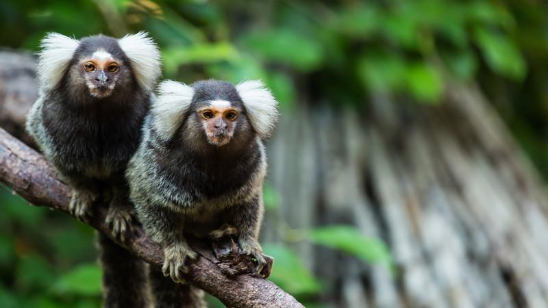 Intrepid Travel-Paraguay-jungle-marmoset-monkeys_413479666