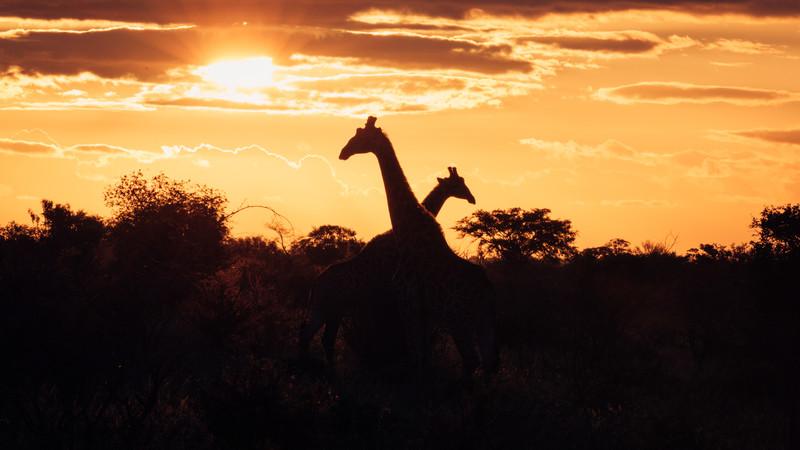Intrepid Travel-zimbabwe_kruger-national-park_sunset-giraffe-silhouette