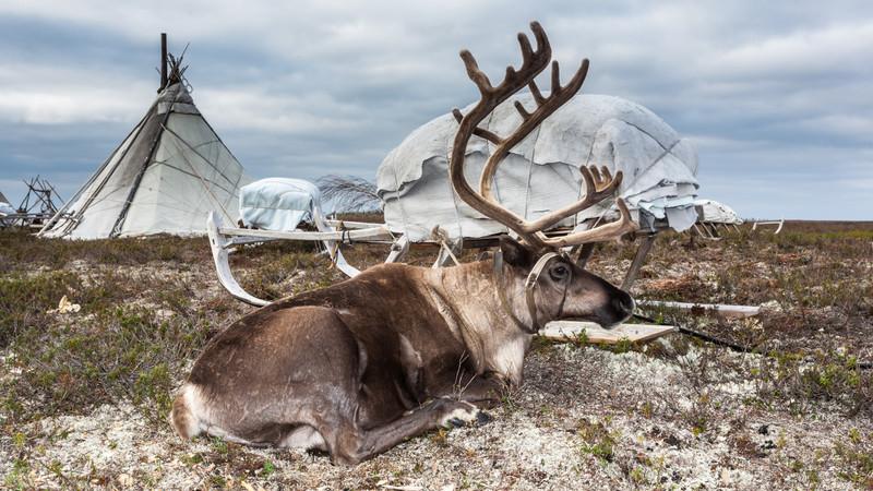 Intrepid Travel-russia_yamal-nenets_reindeer-camp