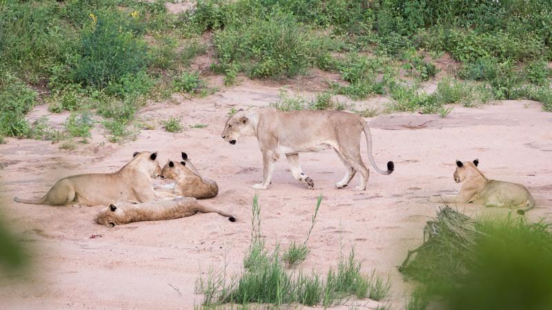 Intrepid Travel-zimbabwe_kruger-national-park_lion-family-resting