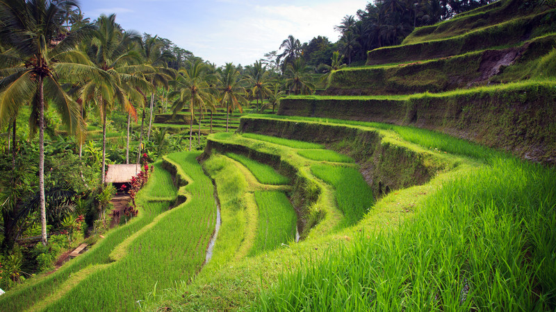 Intrepid Travel-bali_ubud-tegallang-rice-terrace-paddy