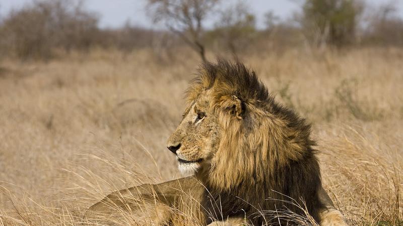 Intrepid Travel-south-africa_kruger_national-park-lion