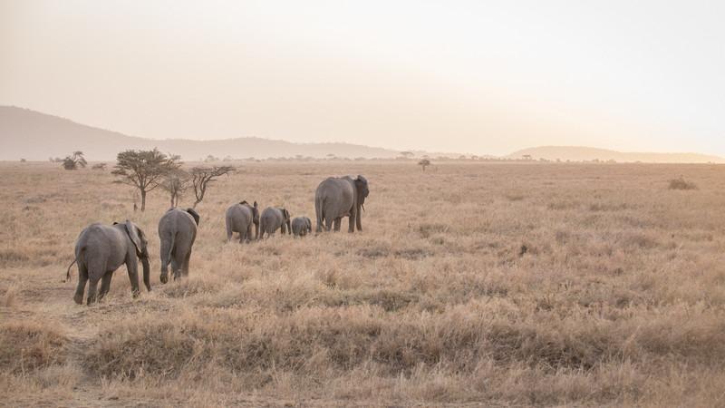Afrika-Tansania-Serengeti-Elefanten