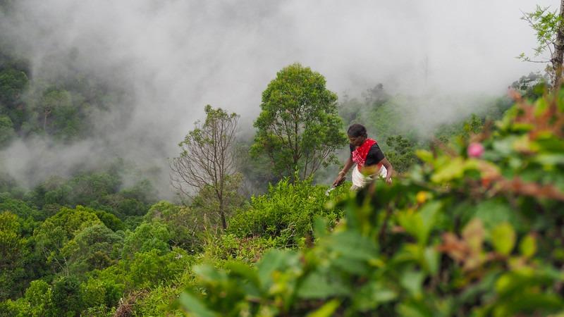 Asien-Sri-Lanka-Teeplantage