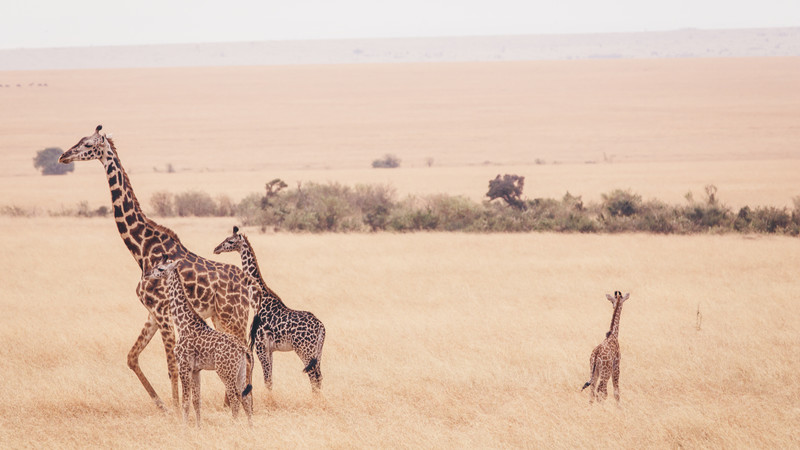 Intrepid Travel-Kenia-Masai-Mara-Giraffes