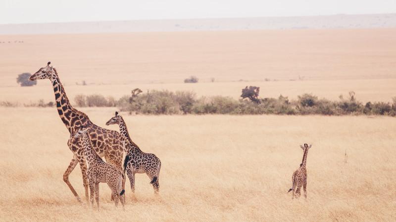 Intrepid Travel-Kenia-Masai-Mara-Giraffes