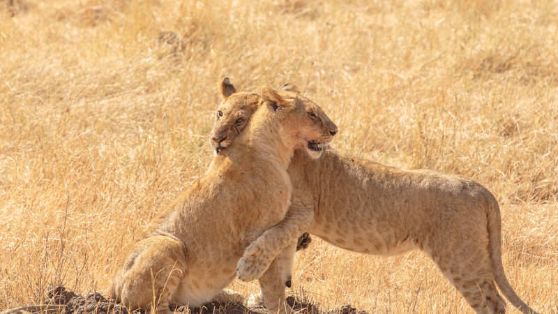 Intrepid Travel-Kenia-Masai-Mara-junge-Löwen